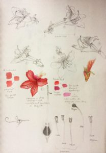 Sketchbook for Rhododendron oldhamii